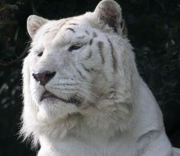 White_Tiger_3_5018369326